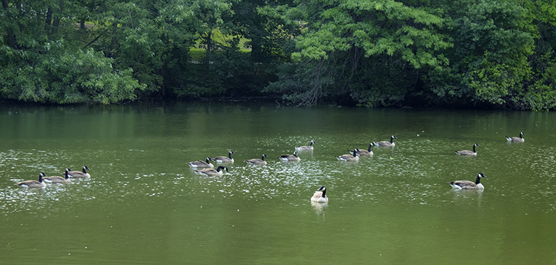 ompark_ducks